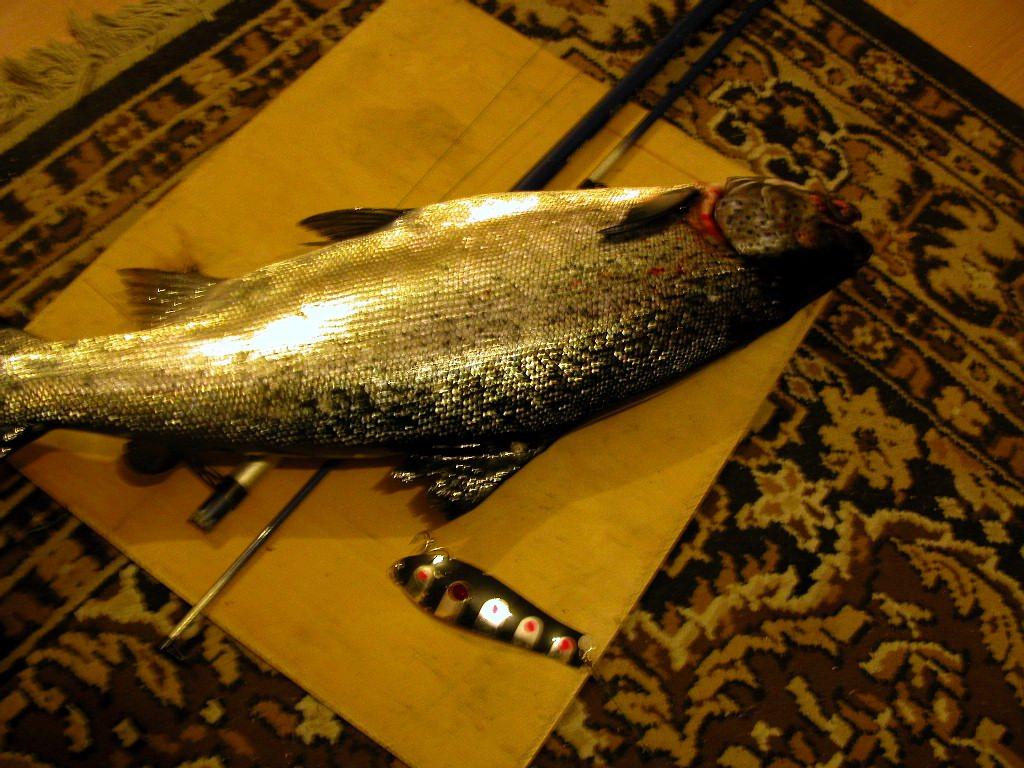 клев хищной рыбы в городе онега